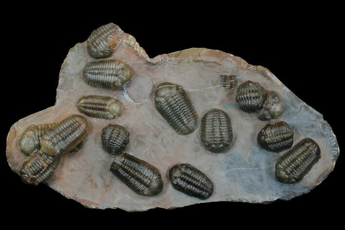 "7.3"" Trilobite (Austerops) Mortality Plate From Jorf - 14 Individuals!"