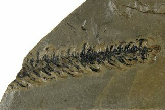 Ernestiodendron sp. - Fossils For Sale - #175191