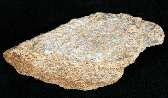 Agatized Dinosaur Bone - Polished