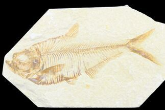 Diplomystus dentatus - Fossils For Sale - #176322
