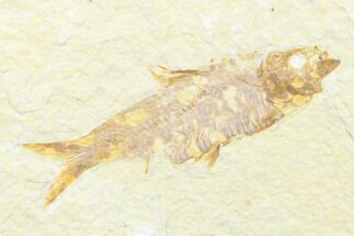 "2.6"" Detailed Fossil Fish (Knightia) - Wyoming For Sale, #176333"