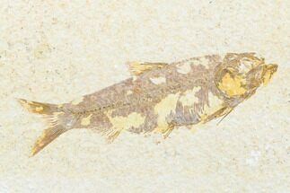 "Buy 3.5"" Detailed Fossil Fish (Knightia) - Wyoming - #176392"