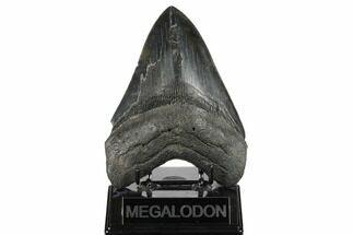 Carcharocles megalodon - Fossils For Sale - #175938