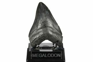 Carcharocles megalodon - Fossils For Sale - #175941