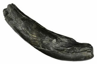 "Buy 5.2"" Fossil Sperm Whale (Scaldicetus) Tooth - South Carolina - #176131"