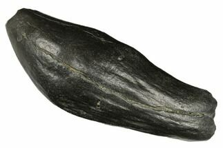 "5.6"" Fossil Sperm Whale (Scaldicetus) Tooth - South Carolina For Sale, #176144"