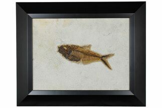 "6.9"" Framed Fossil Fish (Diplomystus) - Wyoming For Sale, #177305"