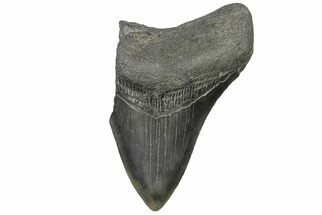 "Bargain, 3.18"" Fossil Megalodon Tooth - South Carolina For Sale, #169322"