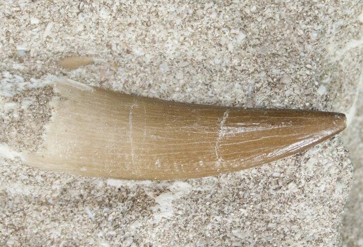 "1.8"" Plesiosaur Tooth In Matrix"