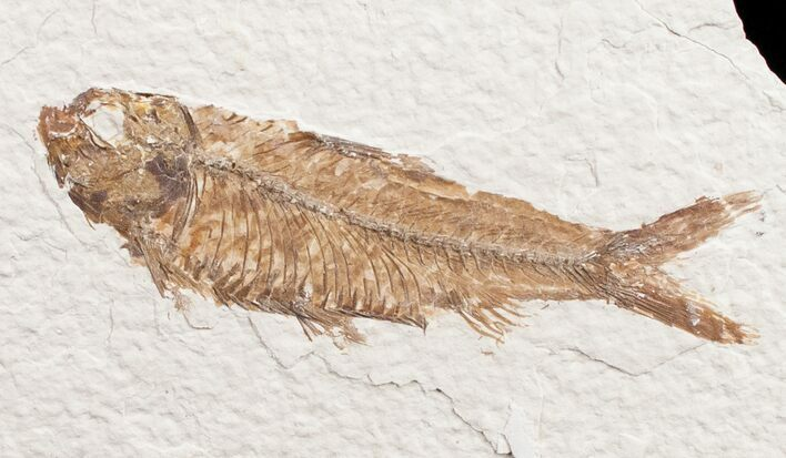 3.4 Knightia Fossil Fish - Wyoming
