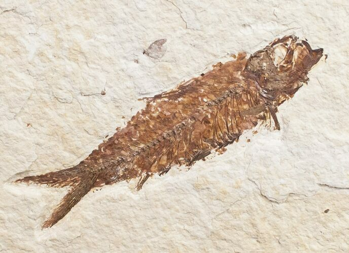 2.9 Knightia Fossil Fish - Wyoming