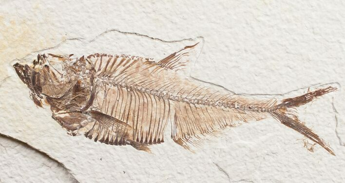 "4.2"" Diplomystus Fossil Fish - Wyoming"