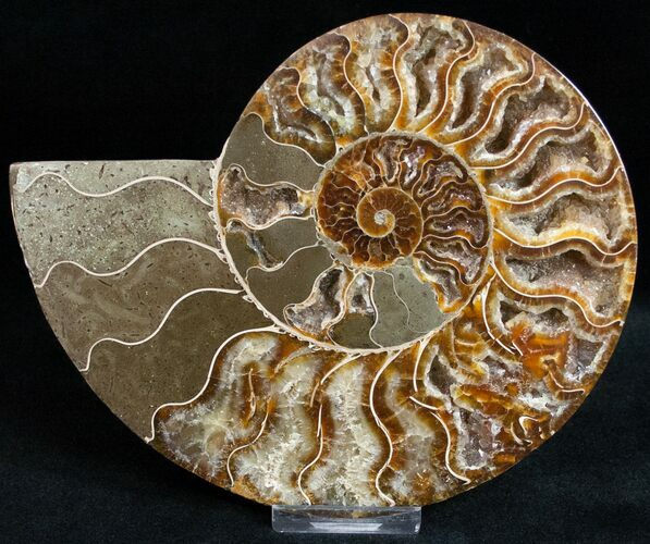 "6.2"" Cut Ammonite Fossil (Half) - Agatized"