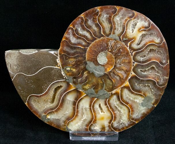 "5"" Ammonite Fossil (Half) - 110 Million Years"
