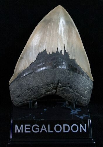 "Quality 5.07"" Olive Colored Megalodon Tooth"