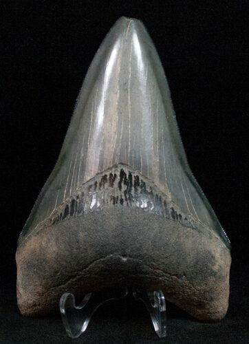"Nice 4.22"" Megalodon Tooth - Feeding Damage"