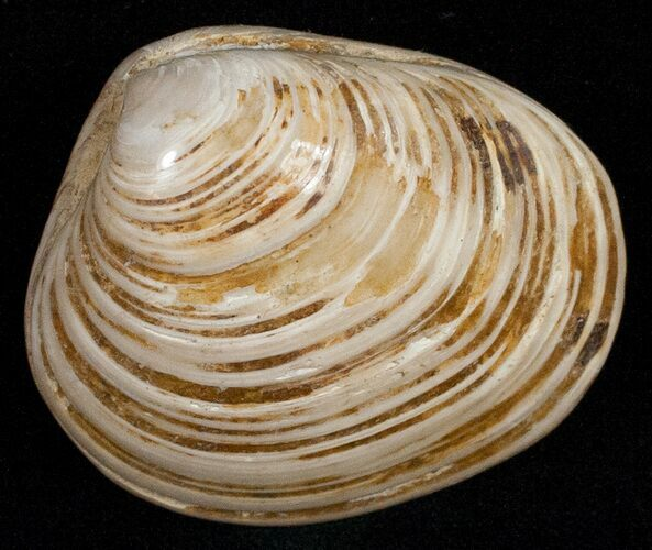 "2"" Wide Polished Fossil Clam - Jurassic"