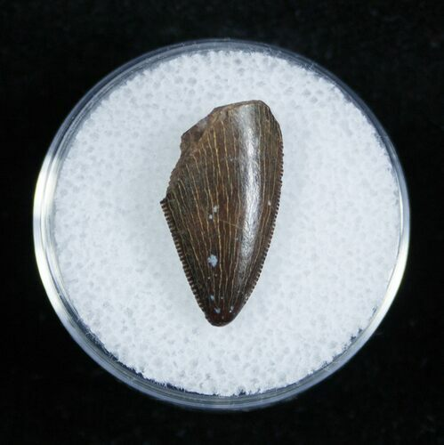 Partial Dromaeosaur/Raptor Tooth From Montana