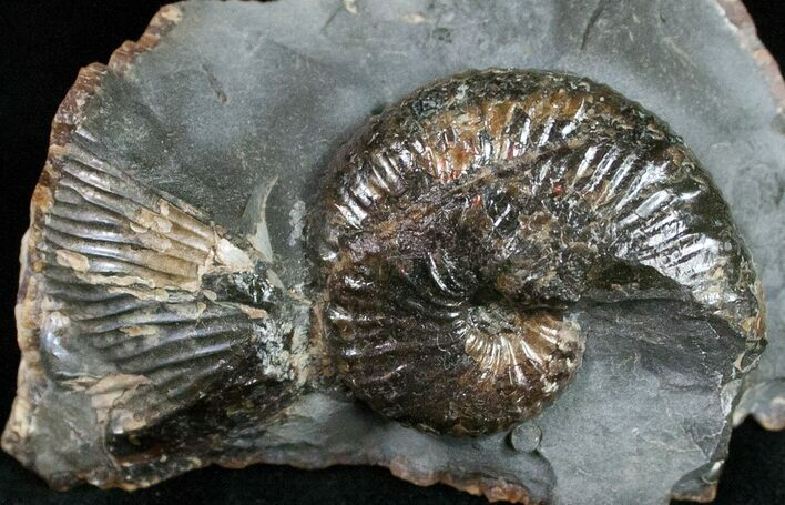 "Very Displayable 1.5"" Scaphites Ammonite - SD"
