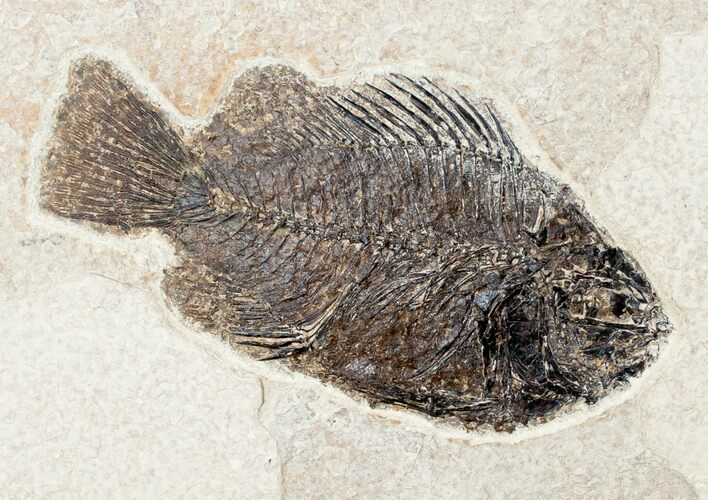 "Detailed 4.35"" Priscacara Fossil Fish - 18 Inch Layer"