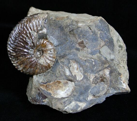 Very Displayable Scaphites Ammonite - SD