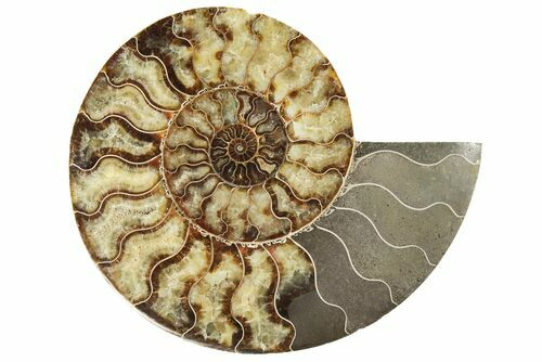 Ammonite Wednesday Flash Sale