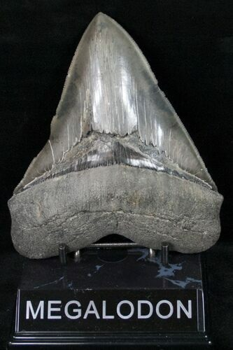 "Serrated 5.05"" Megalodon Tooth - Morgan River"