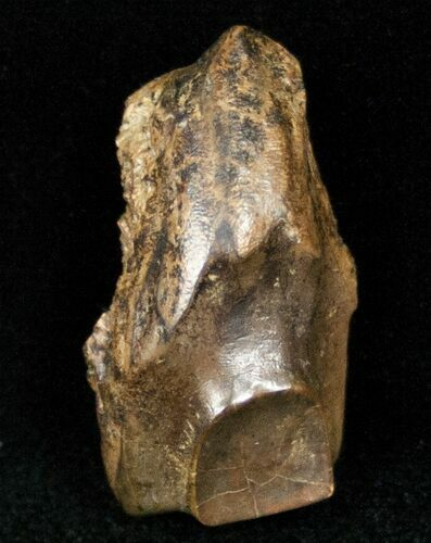 "Large 1.11"" Triceratops Shed Tooth - Montana"