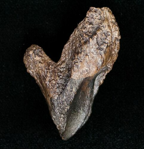Large Rooted Triceratops Tooth - 1.74""