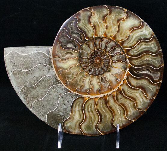 "9.8"" Split Ammonite Half - Agatized"
