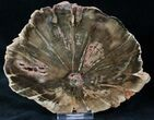 "Woodworthia Petrified Wood Slab - 6"" - #12632-1"