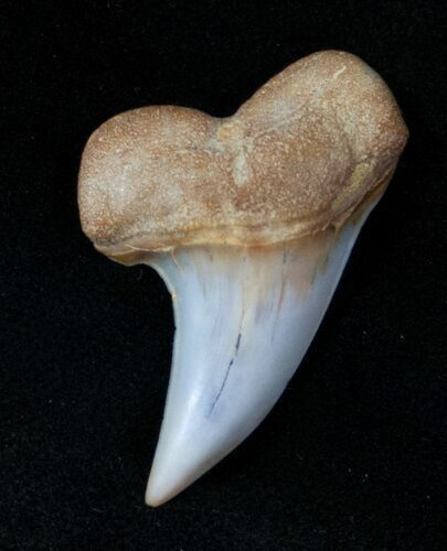 "1.3"" Mako Shark Tooth Fossil - Sharktooth Hill, CA"