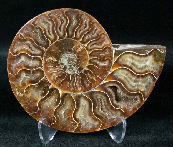 "4.4"" Ammonite Fossil (Half) - 110 Million Years"