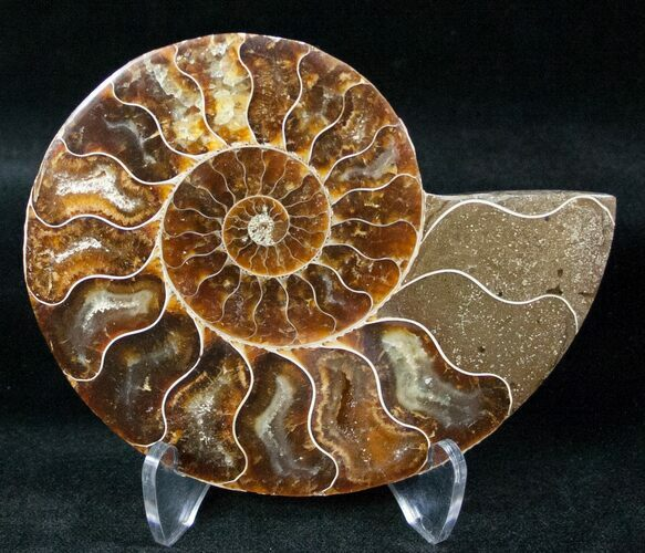 "4.1"" Ammonite Fossil (Half) - 110 Million Years"