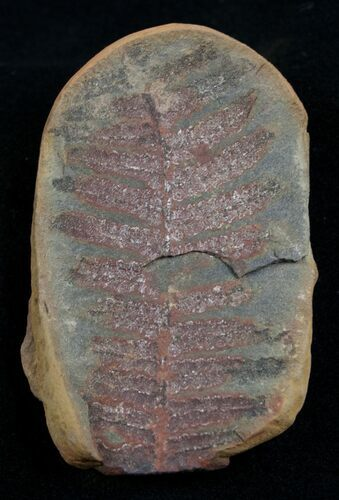 2 1/4 Inch Fern Fossil From Mazon Creek