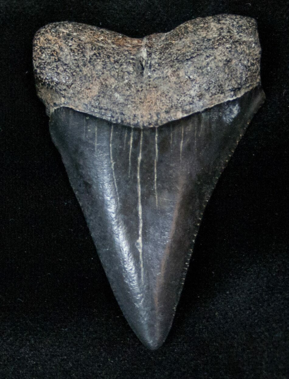 Great White Sharks Teeth Fossil Great White Sha...