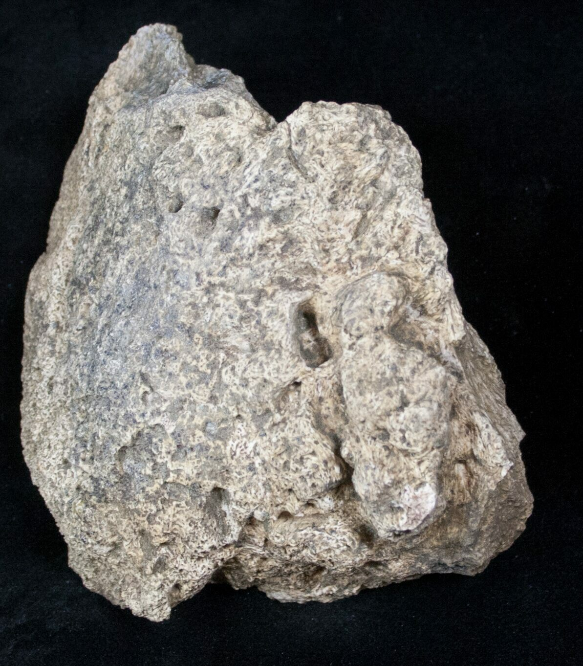 3 7 Quot Triceratops Head Shield Section Montana For Sale