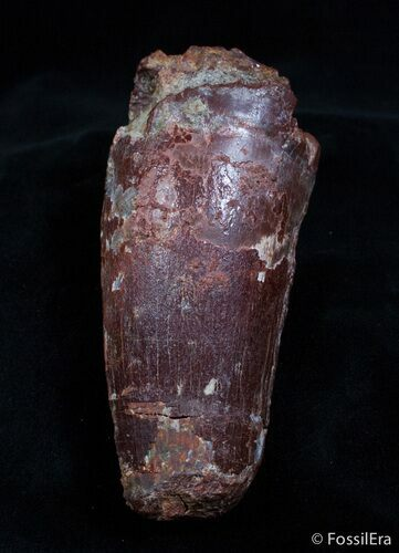 Monster Spinosaurus Tooth - More Than An Inch Wide