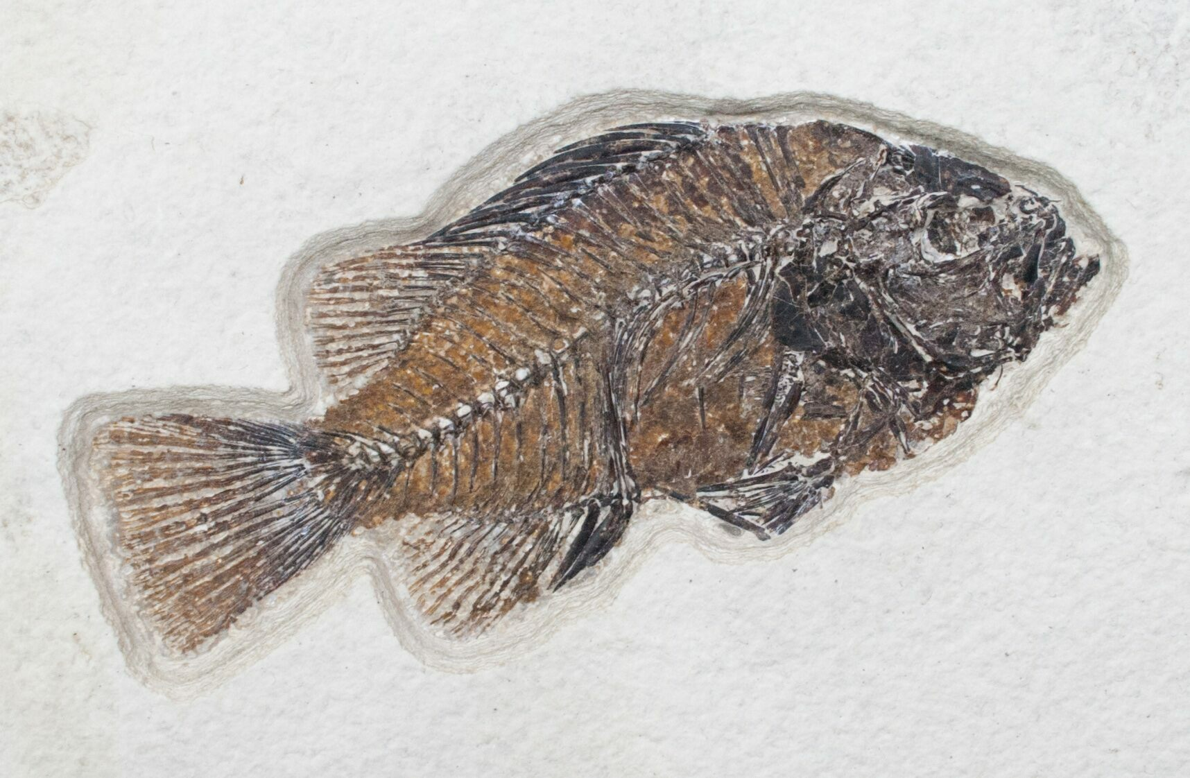 4 2 priscacara fossil fish green river formation for for Fish fossils for sale