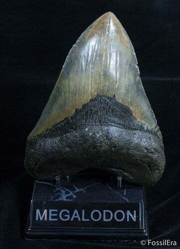 Giant 6.08 Inch Megalodon Tooth
