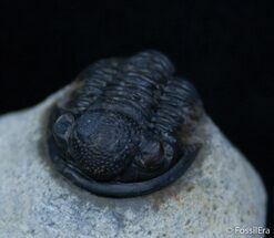 Buy Small Gerastos Trilobite From Morocco - #2290