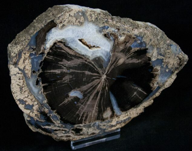 Blue Forest Petrified Wood Slice - 5.6x4.2""