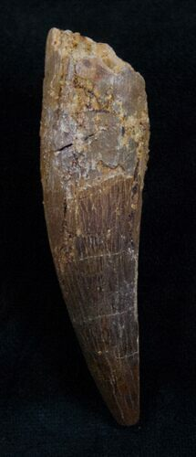 "2.32"" Spinosaurus Tooth - Partial Root"