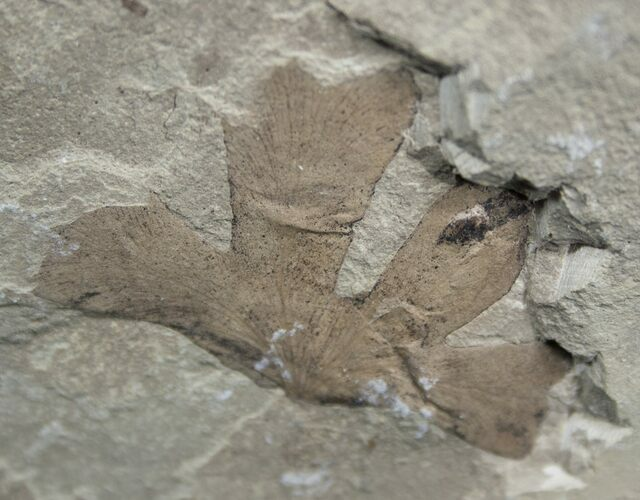 Fossil Climbing Fern Leaf - Green River Formation