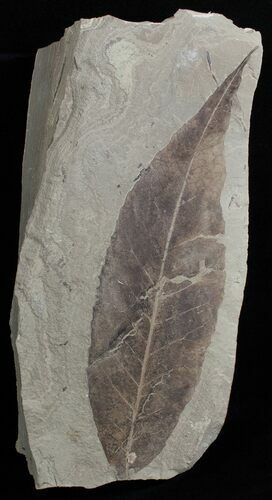 Fossil Allophylus flexifolia Leaf - Green River Formation