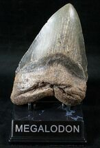 "Massive 5.77"" Megalodon Tooth - North Carolina For Sale, #13976"