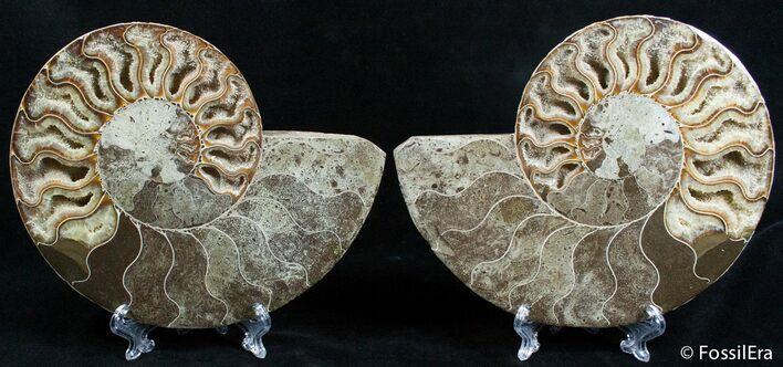 Large 7 1/4 Inch Cut And Polished Ammonite