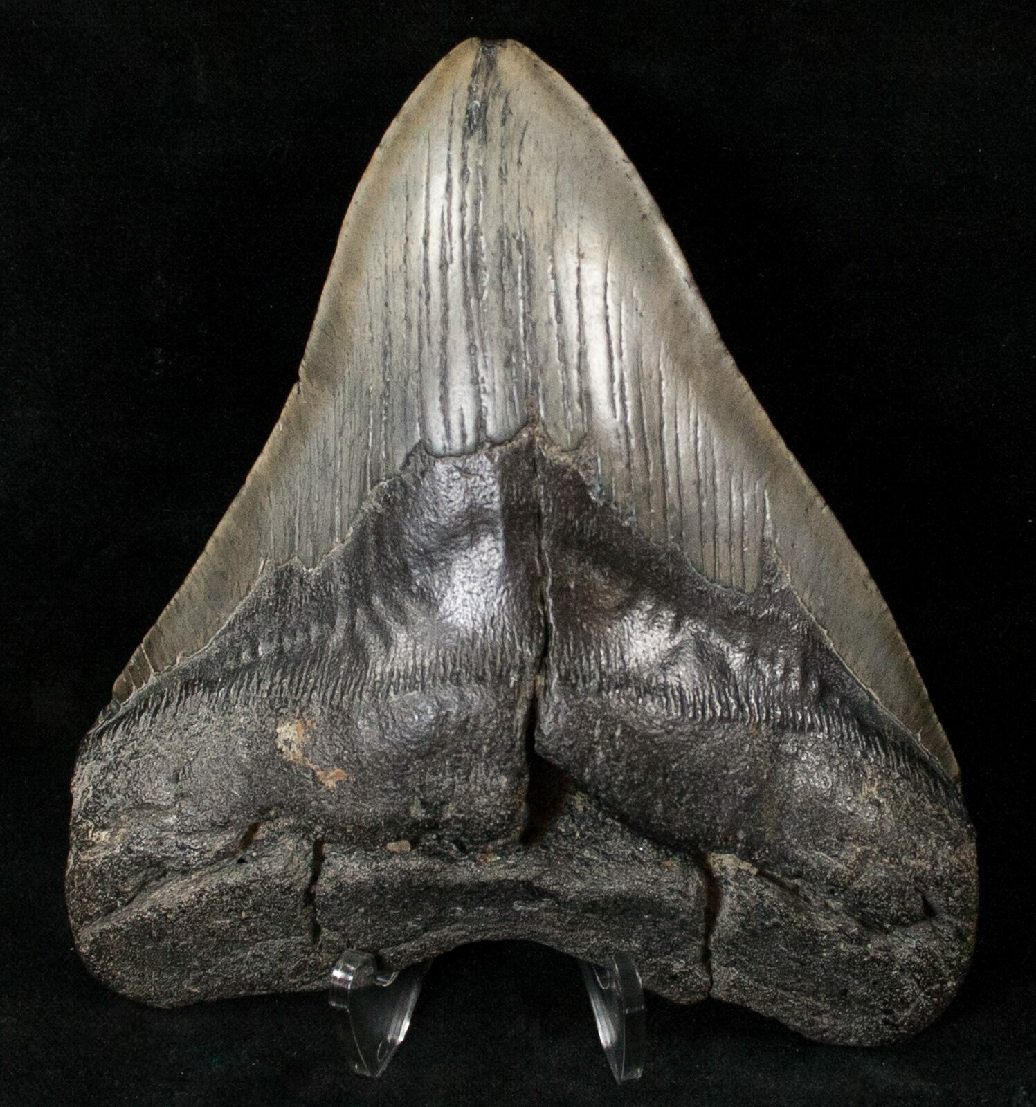 """Huge 5.52"""" Megalodon Tooth"""