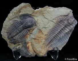 Buy Double Hydrocephalus Trilobite - Czech Republic - #2407