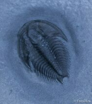 Buy Scarce Dicanthopyge Trilobite - Forked Tail - #2416